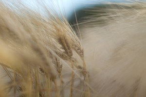 grainfield_2